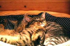 ペットポテルで寝る猫