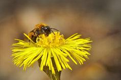 Kegelblume Puschinie bienenfreundlich