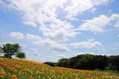 万博の花の丘は 春はポピーに