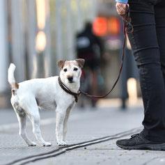 Terrier in der Stadt