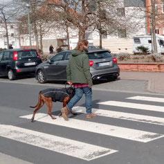 Hund überquert einen Zebrastreifen