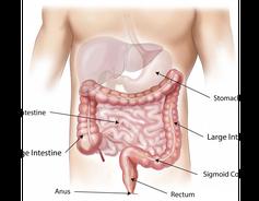 Disegno dell'intestino