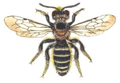 Natternkopf Mauerbiene