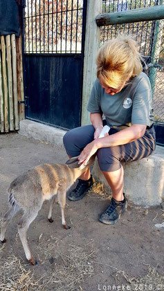 Jonge duiker flesvoeding door vrijwilliger Zuid-Afrika
