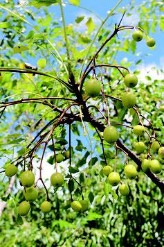 丸い実を鈴なりにつけたセンダン。これから秋が深まるにつれ、黄熟する=21日、バンナ公園