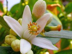 Fleur de Petit Grain Bigarade, le Néroli