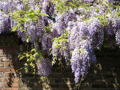 Wisteria, Blauregen, Glyzine - ganz egal unter welchem Namen sie diese schöne Pflanze kennen - Sie sollten wissen wie man ihn am besten schneidet um zu schöner Blüte zu kommen. www.the-golden-rabbit.de