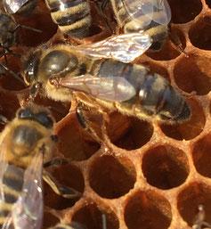 Reine d'abeille noire 2018 (Alsace)          www.le rucher des plaisirs.fr