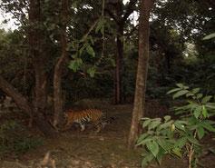 Tiger im Dschungel Indiens