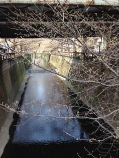 ▲開花間近の目黒川の桜