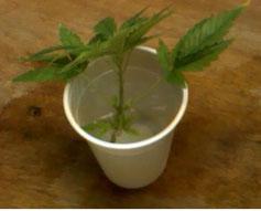 Abgeschnittener Hanftrieb Cannabis Ableger im Wasser um Wurzeln zu bilden