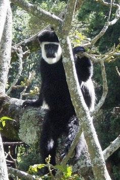 ケニア山の麓に棲むコロバスモンキー