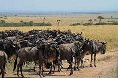 Gnus in der Maasai Mara