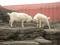 「三びきのやぎのがらがらどん」を思う ヤギの行動‥‥