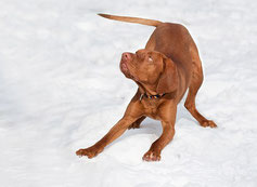 Un chien de grande taille de couleur fauve joue dans la neige par coach canin 16 éducateur canin en charente