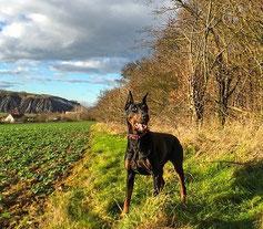 Un chien doberman se promène en campagne dans un champ avec arbres par coach canin 16 educateur canin charente