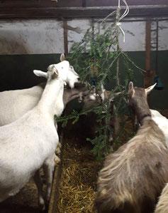Ziegen und Tannenäste im Stall