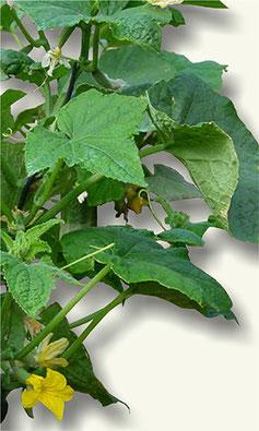 Planta del pepino