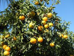 Orangen Orangenbaum Huerto Plantage Zitrus Saft Orangensaft