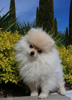 Pomeranian Hündin Happy von der Arnol's Eiche