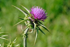 Silybum marianum draineur hépatique