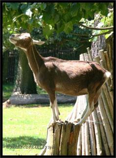 Bärenpark Worbis Ziege