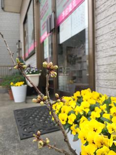 かぶらぎ整骨院の鉢植えの桜
