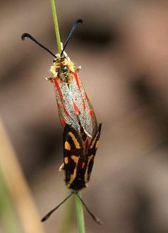 Z. aurata toubkalensis x Z. johannae johannae (Haut Atlas central)