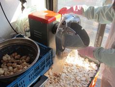 菊芋カット