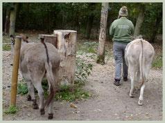 De leider loopt voorop, de ezels volgen!