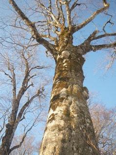 径1mの巨木、大迫力!