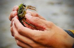 """Die Strandkrabbe gehört zu den """"small five"""""""