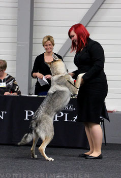 Tschechoslowakischer Wolfshund Welpen Zucht Züchter VDH Papiere Brandenburg Wolfhund Hund Hunde Wolfshunde Tschechoslowakische kaufen Baby Infos Info