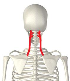 首に痛みを出す筋肉