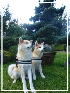 Japan Akita, Umeko of Kishi Ken, Rosia Kara Eikan, Hund, Zucht, Welpen