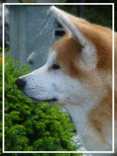Japan Akita, Rosia Kara Eikan, Hund, Zucht, Welpen