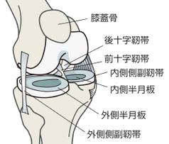 膝関節の靱帯