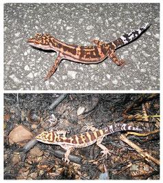 今回新たに新亜種として記載された渡嘉敷島のケラマトカゲモドキ(上)、研究によって分布が渡名喜島に限定されたマダラトカゲモドキ(写真提供・いずれも筑波大学の本多正尚教授)