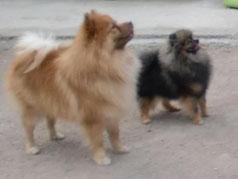 En esta foto se puede apreciar la diferencia de tamaño entre un KleinSpitz y un Pomerania autentico al fondo.
