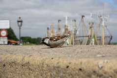 1 Spatz/Sparrow