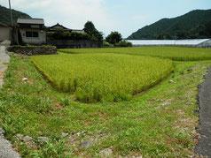 来月早々に稲刈が出来そうな自宅前の田んぼ。