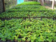 Donated coffee seedling (nurtured at Chiang Mai University)