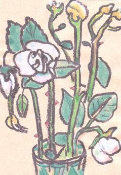 白バラ咲く