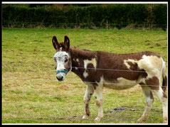 Eclair, notre âne cheyenne