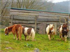 Nos poneys shetlands