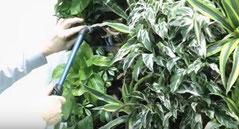 mantenimiento de jardín vertical con plantas tropicales como aglaonema, dracaena, schefflera arboricola y dracaena.  limpiando y regando con maquina de regar.