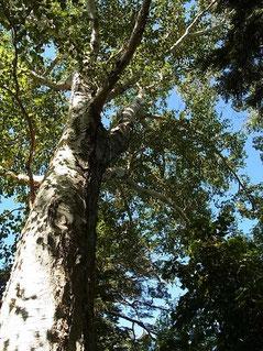 岩間道も楽々新道もこんな大きな木々がいっぱい