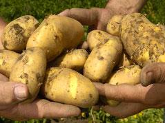 neue Kartoffelernte