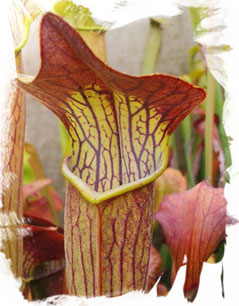 Sarracenia Alata Schlauchpflanze
