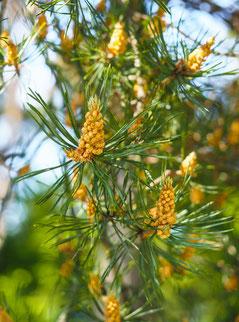 24 Pine